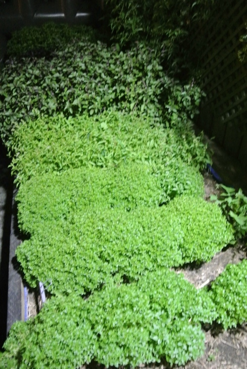 The many varieties of Basil grown at Attica