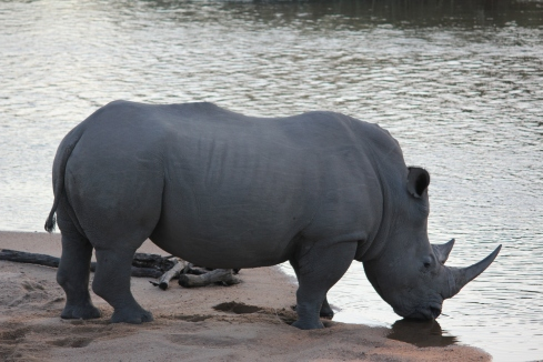 Rhino at the waterhole