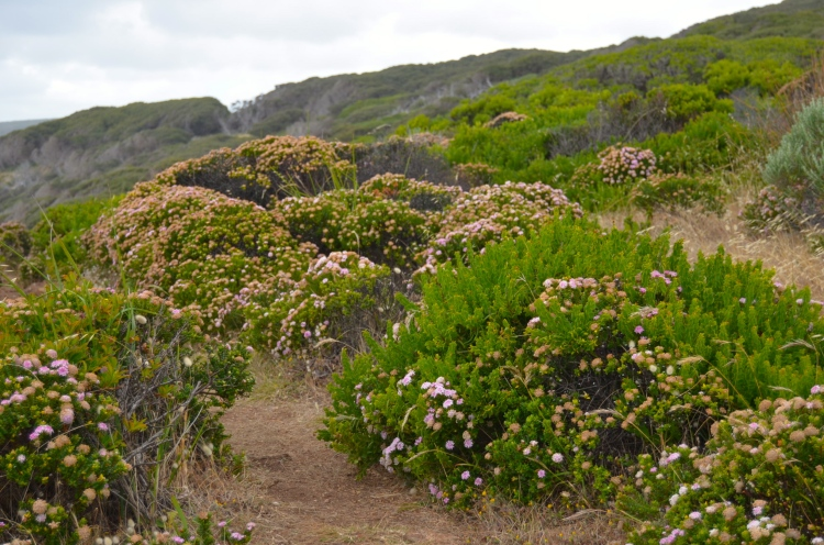 Wildflowers lining the Cape to Cape Track