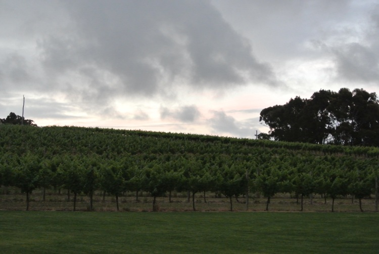 The stunning vines of Vasse Felix at dusk