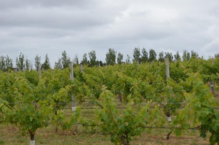 Vineyards for miles at Voyager Estate